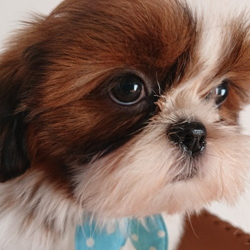シーズーの子犬(ID:1269811009)の1枚目の写真/更新日:2021-07-31