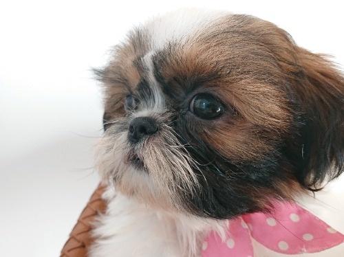 シーズーの子犬(ID:1269811036)の1枚目の写真/更新日:2021-07-31