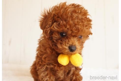 トイプードルの子犬(ID:1269911001)の1枚目の写真/更新日:2018-10-08