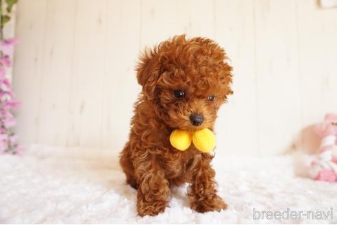 トイプードルの子犬(ID:1269911001)の2枚目の写真/更新日:2017-10-05