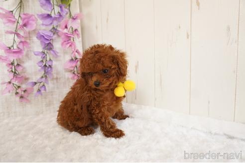 トイプードルの子犬(ID:1269911001)の4枚目の写真/更新日:2017-10-05