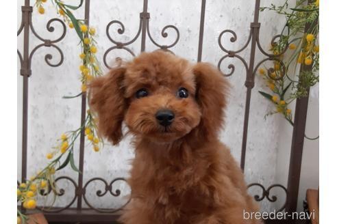 トイプードルの子犬(ID:1269911002)の2枚目の写真/更新日:2018-10-08