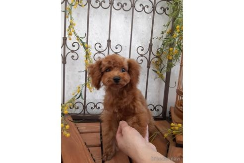 トイプードルの子犬(ID:1269911002)の3枚目の写真/更新日:2018-10-08