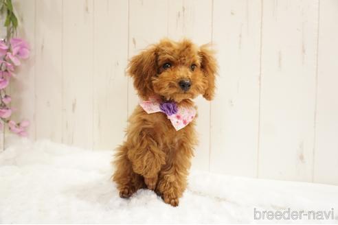 トイプードルの子犬(ID:1269911002)の4枚目の写真/更新日:2018-10-08