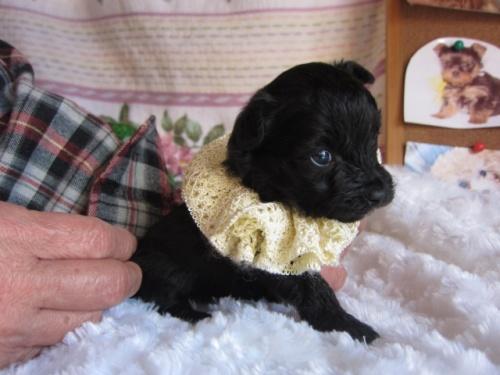 ヨークシャーテリアの子犬(ID:1269911003)の1枚目の写真/更新日:2017-11-06
