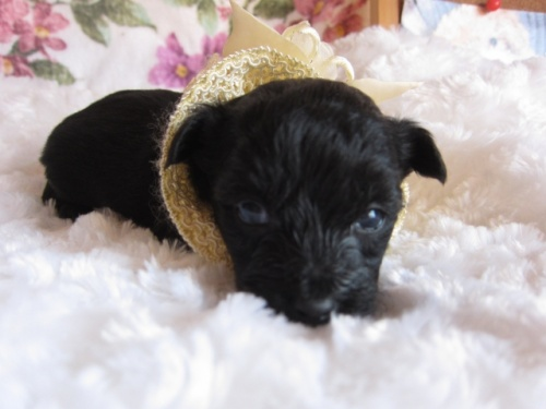ヨークシャーテリアの子犬(ID:1269911003)の2枚目の写真/更新日:2017-11-06