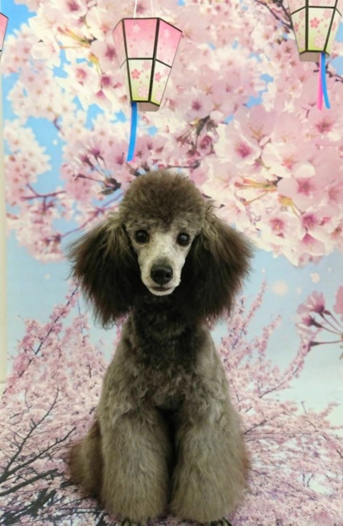 トイプードルの子犬(ID:1269911006)の1枚目の写真/更新日:2017-12-01