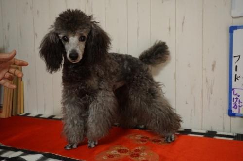 トイプードルの子犬(ID:1269911006)の2枚目の写真/更新日:2017-12-01