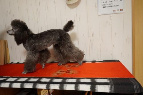 トイプードルの子犬(ID:1269911006)の3枚目の写真/更新日:2017-12-01