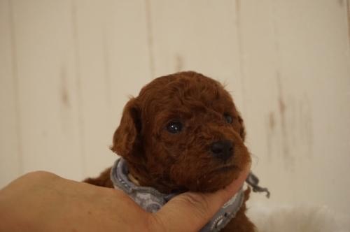 トイプードルの子犬(ID:1269911008)の1枚目の写真/更新日:2017-12-15