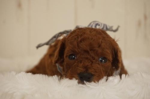 トイプードルの子犬(ID:1269911008)の2枚目の写真/更新日:2017-12-15