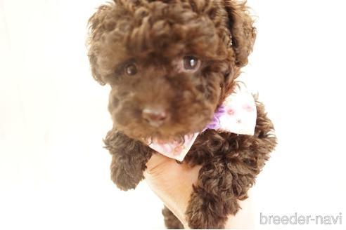 トイプードルの子犬(ID:1269911010)の1枚目の写真/更新日:2017-12-15