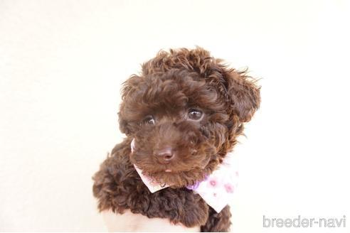 トイプードルの子犬(ID:1269911010)の4枚目の写真/更新日:2021-07-13