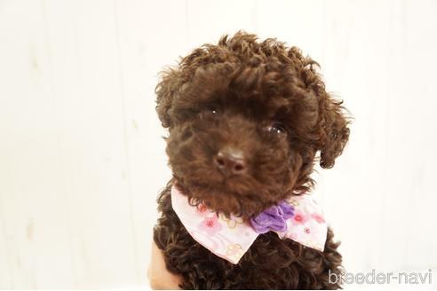 トイプードルの子犬(ID:1269911010)の5枚目の写真/更新日:2021-07-13