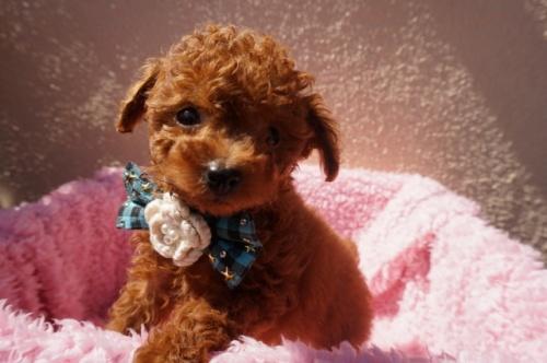 トイプードルの子犬(ID:1269911011)の1枚目の写真/更新日:2018-02-16