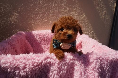 トイプードルの子犬(ID:1269911011)の2枚目の写真/更新日:2018-02-16