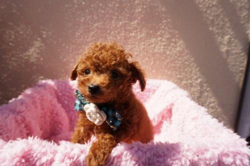 トイプードルの子犬(ID:1269911011)の3枚目の写真/更新日:2018-02-16
