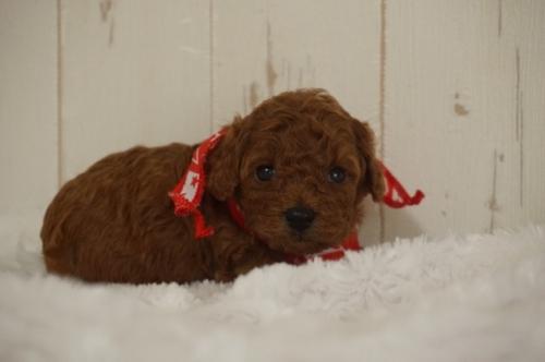 トイプードルの子犬(ID:1269911012)の1枚目の写真/更新日:2019-09-15