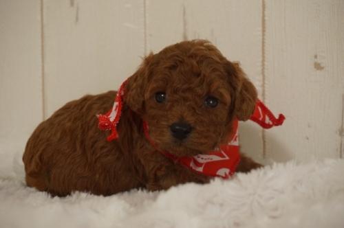 トイプードルの子犬(ID:1269911012)の2枚目の写真/更新日:2019-09-15
