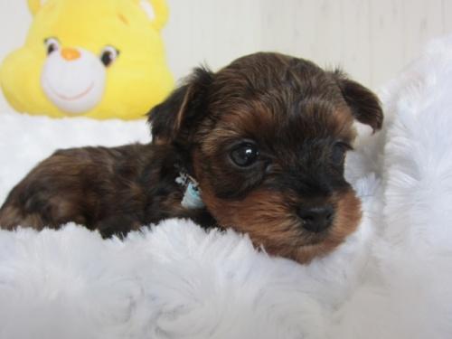 ヨークシャーテリアの子犬(ID:1269911013)の1枚目の写真/更新日:2018-03-05