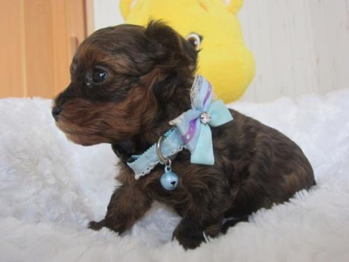 ヨークシャーテリアの子犬(ID:1269911013)の2枚目の写真/更新日:2018-03-05