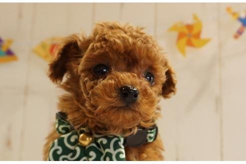 トイプードルの子犬(ID:1269911015)の1枚目の写真/更新日:2021-05-01