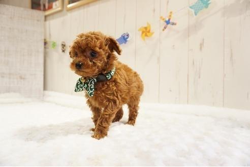 トイプードルの子犬(ID:1269911015)の2枚目の写真/更新日:2021-05-01