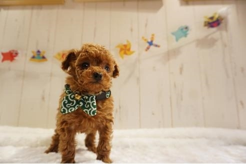 トイプードルの子犬(ID:1269911015)の3枚目の写真/更新日:2018-04-05