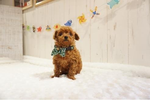 トイプードルの子犬(ID:1269911015)の4枚目の写真/更新日:2021-05-01