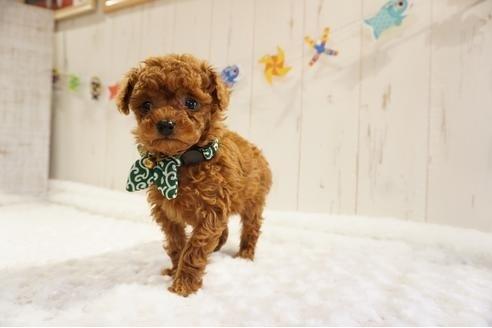 トイプードルの子犬(ID:1269911015)の5枚目の写真/更新日:2021-05-01