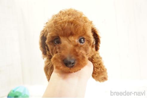 トイプードルの子犬(ID:1269911016)の1枚目の写真/更新日:2018-09-18