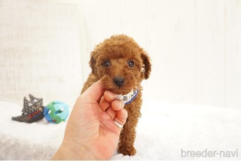 トイプードルの子犬(ID:1269911016)の2枚目の写真/更新日:2018-09-18