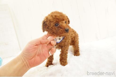 トイプードルの子犬(ID:1269911016)の3枚目の写真/更新日:2018-09-18