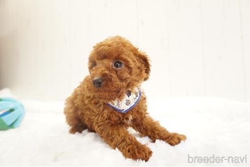 トイプードルの子犬(ID:1269911016)の4枚目の写真/更新日:2018-09-18