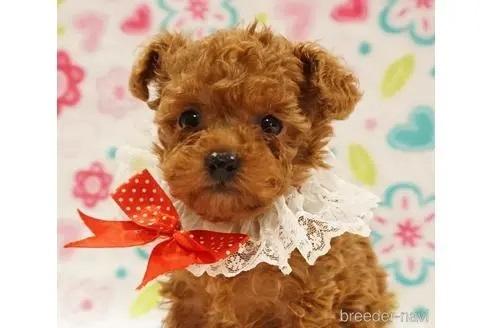 トイプードルの子犬(ID:1269911017)の1枚目の写真/更新日:2018-09-18
