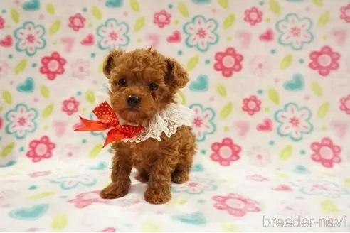 トイプードルの子犬(ID:1269911017)の2枚目の写真/更新日:2018-09-18