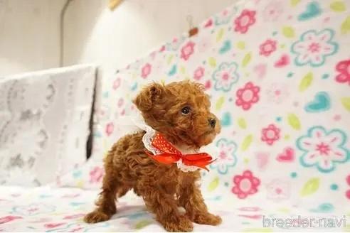 トイプードルの子犬(ID:1269911017)の3枚目の写真/更新日:2018-09-18