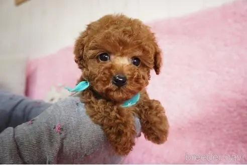 トイプードルの子犬(ID:1269911018)の1枚目の写真/更新日:2018-10-29