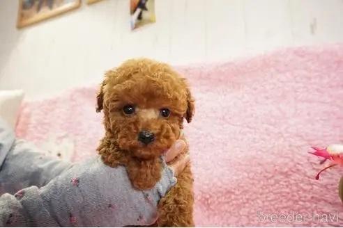トイプードルの子犬(ID:1269911018)の2枚目の写真/更新日:2018-10-29