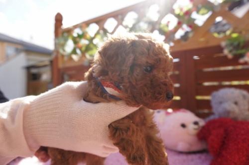 トイプードルの子犬(ID:1269911019)の2枚目の写真/更新日:2018-10-29