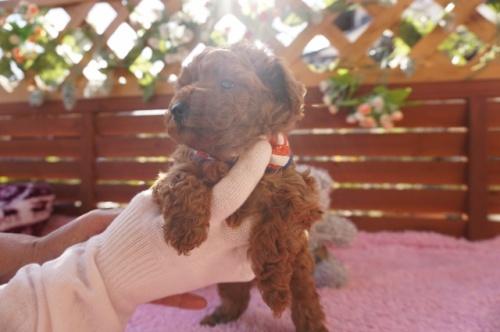 トイプードルの子犬(ID:1269911019)の3枚目の写真/更新日:2018-10-29