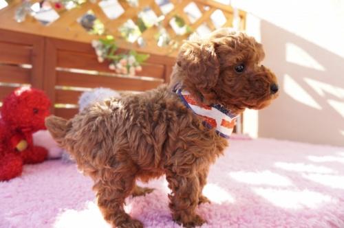 トイプードルの子犬(ID:1269911019)の4枚目の写真/更新日:2018-10-29