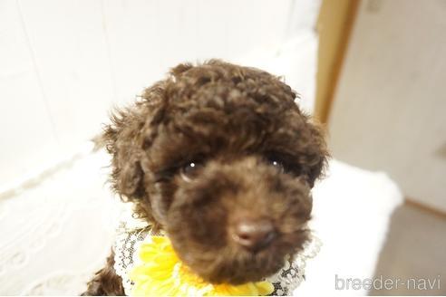 トイプードルの子犬(ID:1269911024)の1枚目の写真/更新日:2021-07-13
