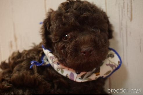 トイプードルの子犬(ID:1269911024)の2枚目の写真/更新日:2021-07-13