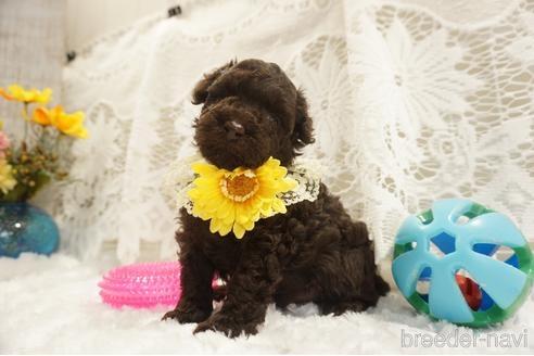 トイプードルの子犬(ID:1269911024)の3枚目の写真/更新日:2021-07-13