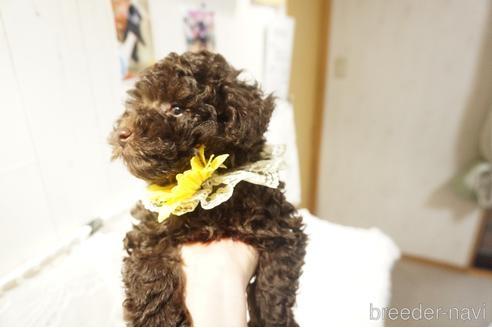 トイプードルの子犬(ID:1269911024)の4枚目の写真/更新日:2021-07-13