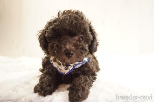 トイプードルの子犬(ID:1269911032)の1枚目の写真/更新日:2021-10-04