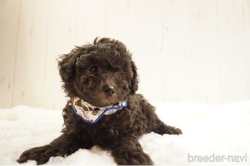 トイプードルの子犬(ID:1269911032)の4枚目の写真/更新日:2021-10-04