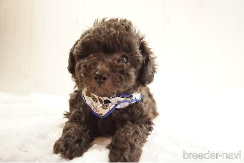 トイプードルの子犬(ID:1269911032)の5枚目の写真/更新日:2021-10-04