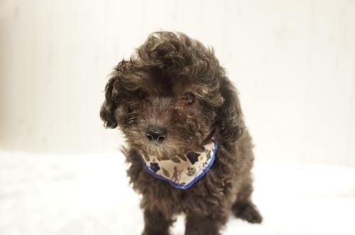 トイプードルの子犬(ID:1269911032)の6枚目の写真/更新日:2021-10-21